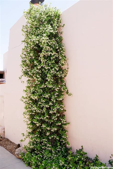 which corner do sts go in a versatile plant how to care for grow star jasmine