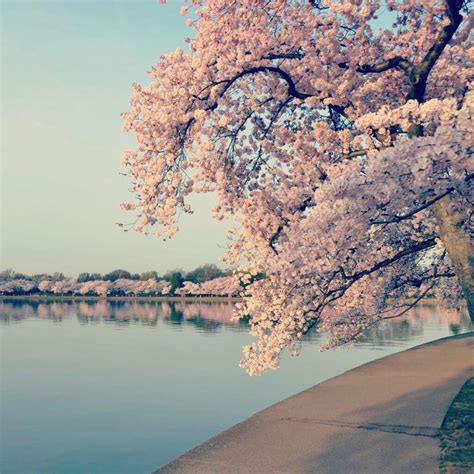 when did japan give us cherry blossoms dc cherry blossoms reach peak bloom cherry trees
