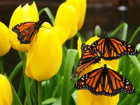 butterflies flowers pictures of real flowers and butterflies wallpapers gallery