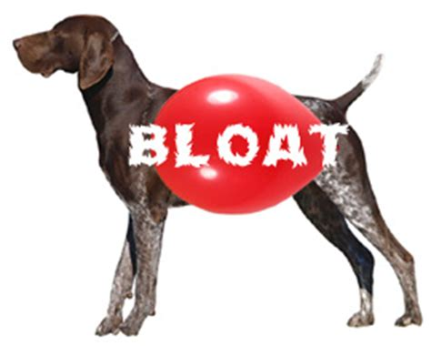 puppy bloat symptoms bloat gastric dilatation volvulus gdv in the breeds breeds picture