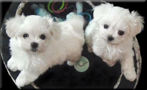 maltese puppy cost product reviews canada kasamile maltese puppies in toronto