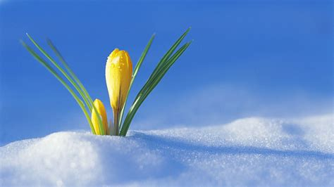 yellow crocus  sprouted snow phone wallpapers