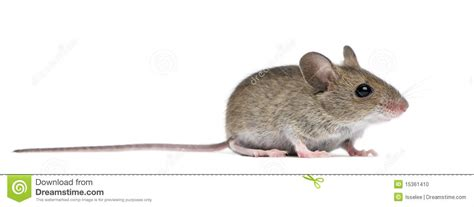%name wood business cards   Side View Of Wood Mouse Stock Photo   Image: 15361410
