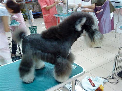 schnauzer puppy cut miniature schnauzer puppy cut grooming breeds picture