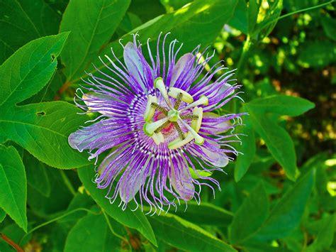 passiflora incarnata nutrawiki