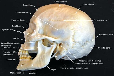 skull diagram labeled diagram anatomy human skull labeled diagram