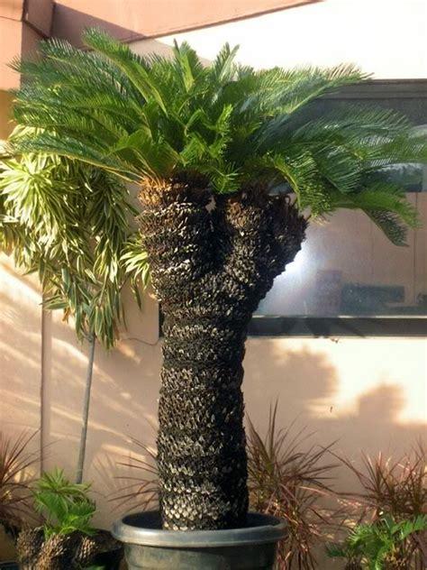 Tanaman Sikas tanaman sikas