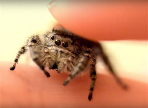 petting a four minutes of a youtuber petting their domesticated jumping spider geekologie
