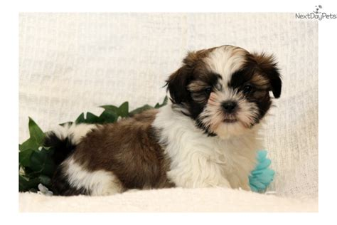 shih tzu puppies for sale near me shih tzu puppy for sale near lancaster pennsylvania 1a103c3f 0391