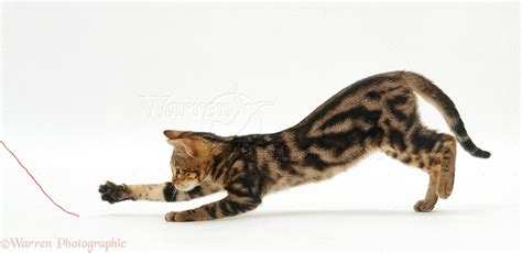 chasing cat tabby cat chasing a of string photo wp22420