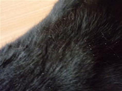 schuppen katze schuppen oder doch was anderes parasiten zoonosen und