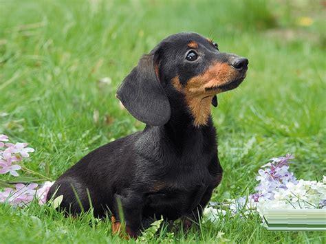 breed temperament dachshund puppies rescue pictures information temperament characteristics