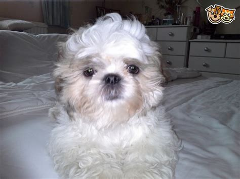 shih tzu for sale in lincolnshire shih tzu puppies for sale grimsby lincolnshire pets4homes