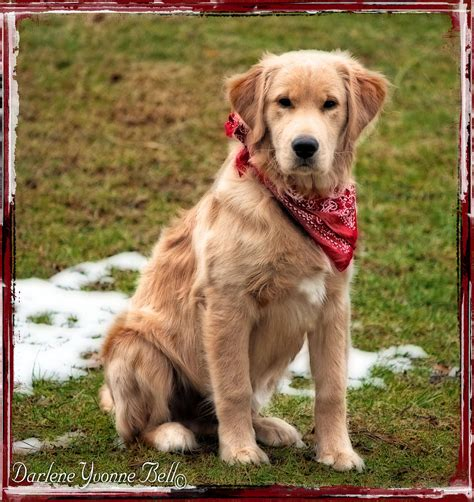 golden retriever puppy bandana retriever puppy in bandana photograph by darlene bell