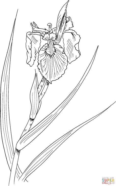 Iris Outline by Iris Pseudacorus Or Yellow Flag Iris Coloring Coloring