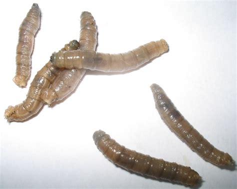 larve in casa vermi invasori forum natura mediterraneo forum