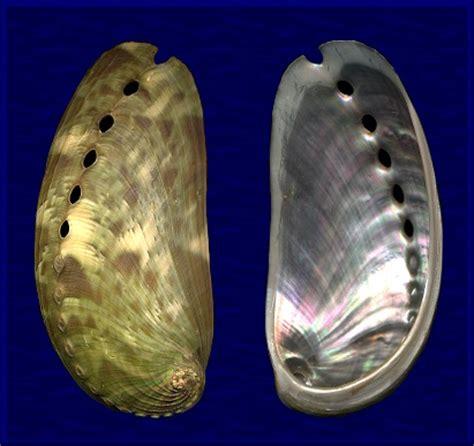 Kerang Abalon haliotis asinina linnaeus 1758
