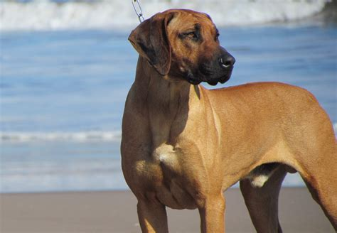 how to a ridgeback 1000 images about rhodesian ridgeback on rhodesian ridgeback
