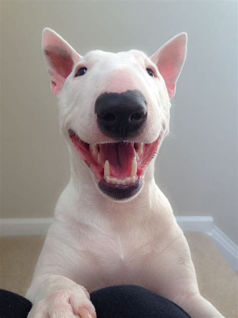 17 Best Ideas About Bull Terriers On Bull Terrier Puppy Bull Terrier