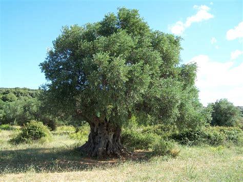 alberi sempreverdi da giardino alberi sempreverdi da giardino alberi sempreverdi per