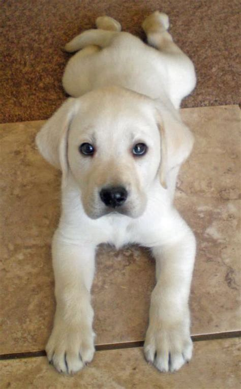 pictures of lab dogs hercules the labrador retriever puppies daily puppy