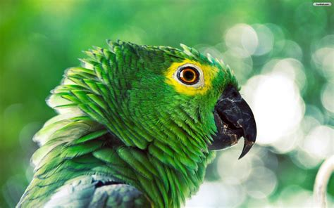 green parrots hd wallpapers first hd wallpapers