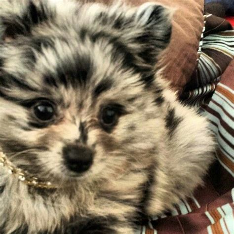 blue merle puppy blue merle pomeranian puppy dogs puppies that are so and sweet azura blue