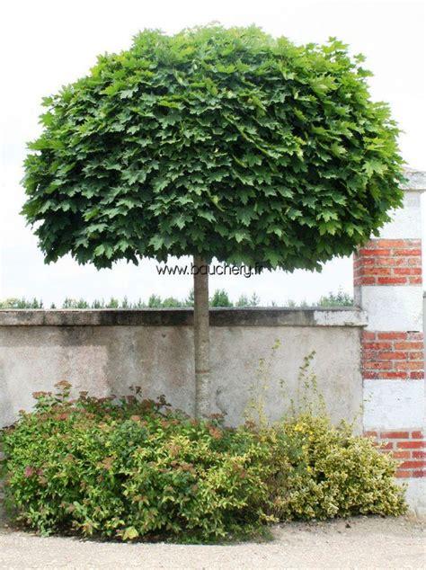 Maple Tree Nursery by Acer Platanoides Globosum Wonderful Wooden Plants