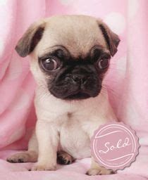 teacup pugs for free teacup pugs for sale in florida breeds picture