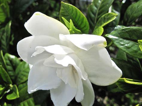 Gardenia by Gardenia Jasminoides Chuck Hayes 2