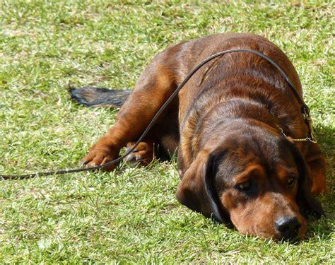 Alpine Dachsbracke - Pictures, Habitat, Diet, Breeding ...