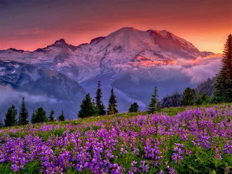 sunset mountain flowers rainier national park washington