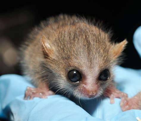 baby lemur baby cute aww wild lemur catsbeaversandducks