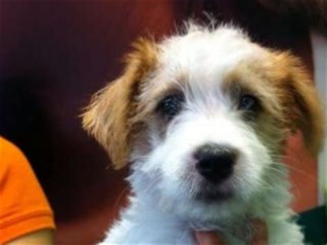 haircut ideas for long hair jack russell dogs for sale long hair jack russell puppies