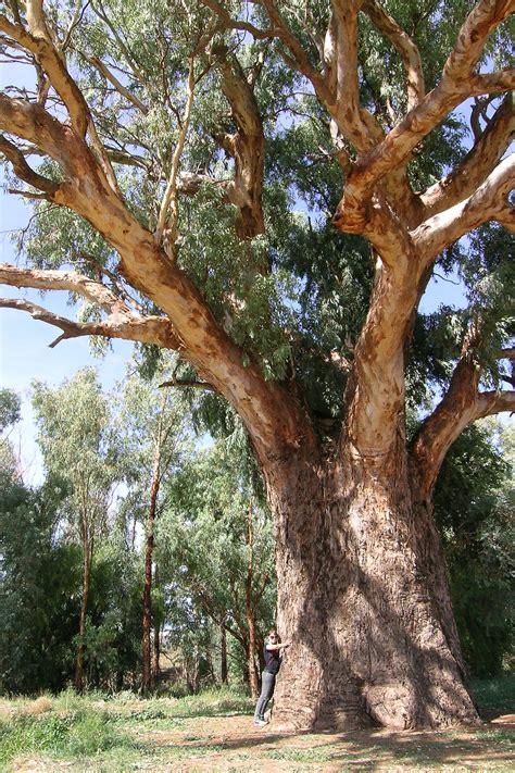 tree image file orroroo tree jpg wikimedia commons