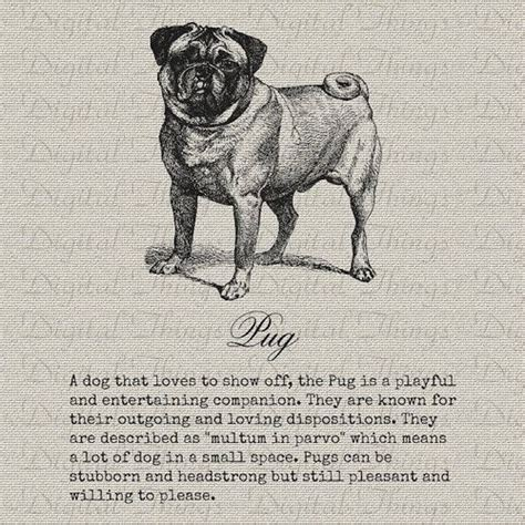 pug description 271 best images about pugs on yorkie pug and pug