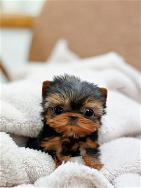 where to get a yorkie puppy posh yorkie on yorkie terrier and yorkies