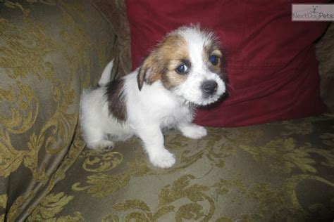 shih tzu terrier mix puppies for sale terrier shih tzu mix for sale az breeds picture
