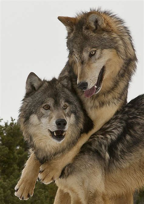 0008183848 war of the wolf 1000 ideas about howling wolf tattoo on pinterest wolf