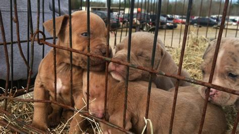 just puppies puppy mill how do you spot a puppy mill or puppy mill ad rover
