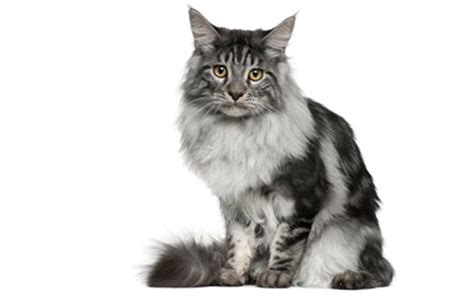 maine coon cat breed the 25 most popular cat breeds cattime