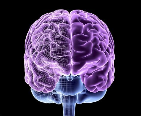 brain on the brain structure function and evolution