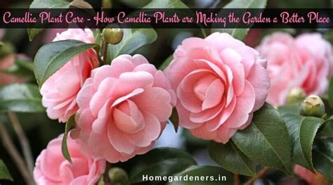 camellia plant care how camellia plants are making the garden a better place home gardeners