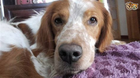 setter cross dog rescue archie brittany setter cross reserved bedford