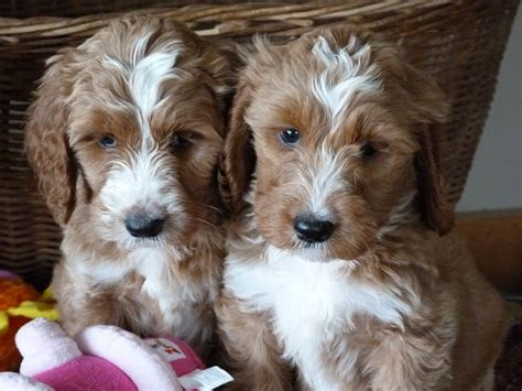 springerdoodle puppies springerdoodle facts shelby goldendoodles goldendoodle breeder shelbyville il