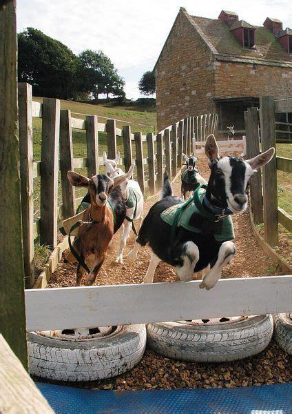 bottle feed  goats   race goats cabras