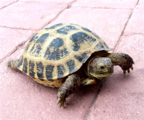 russian tortoises basic care russian tortoise arizona exotics