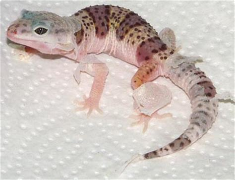 How To Help A Leopard Gecko Shed by Leopard Geckos