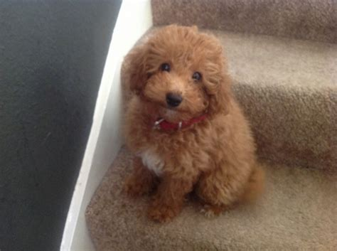pet puppies poochon puppies newcastle upon tyne tyne and wear pets4homes