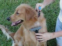 best nail clippers for golden retrievers 139 best images about golden retriever grooming on the golden mud rooms